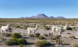 Alpacas | by The Globetrotting photographer