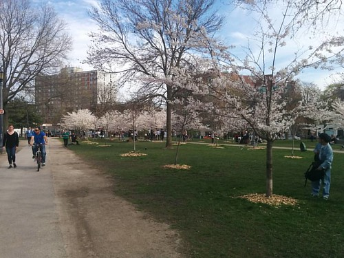 Sakura of Trinity-Bellwoods, 2 #toronto #trinitybellwoods #parks #spring #cherryblossom #sakura