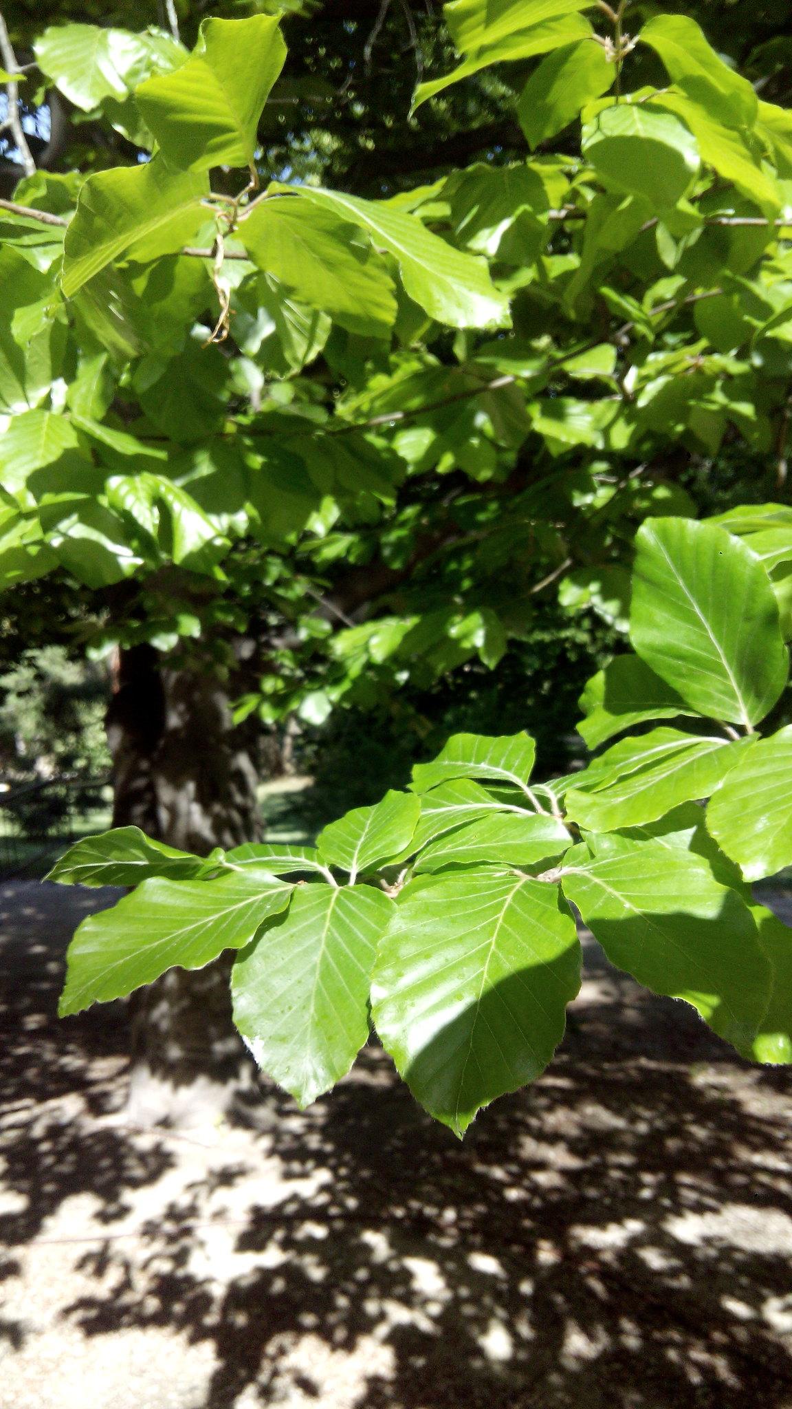 hojas de haya, fotografía