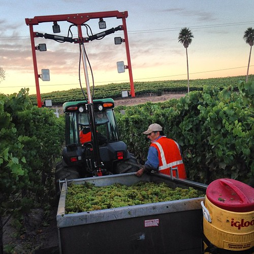 Harvesting our last Chardonnay grapes of the 2013 vintage this morning. #sonomaharvest2013 #harvest2013 | by jordanwinery.com