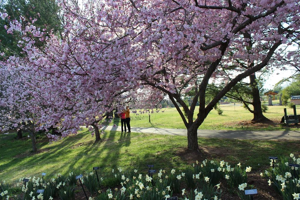Meadowlark Botanic Gardens Cherry Blossoms And Shadows