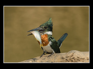 Satisfied Green Kingfisher - by Rick Schoenfield | by Nature Camera Club