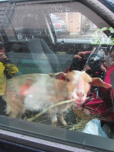 Passenger Goat