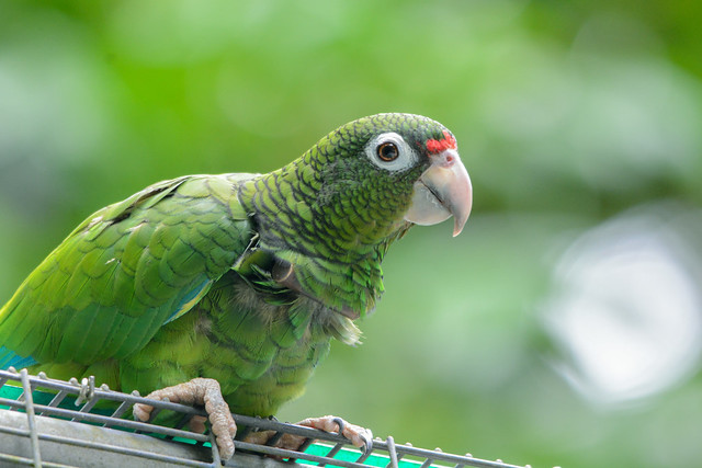 Puerto Rican Parrot Recovery Program