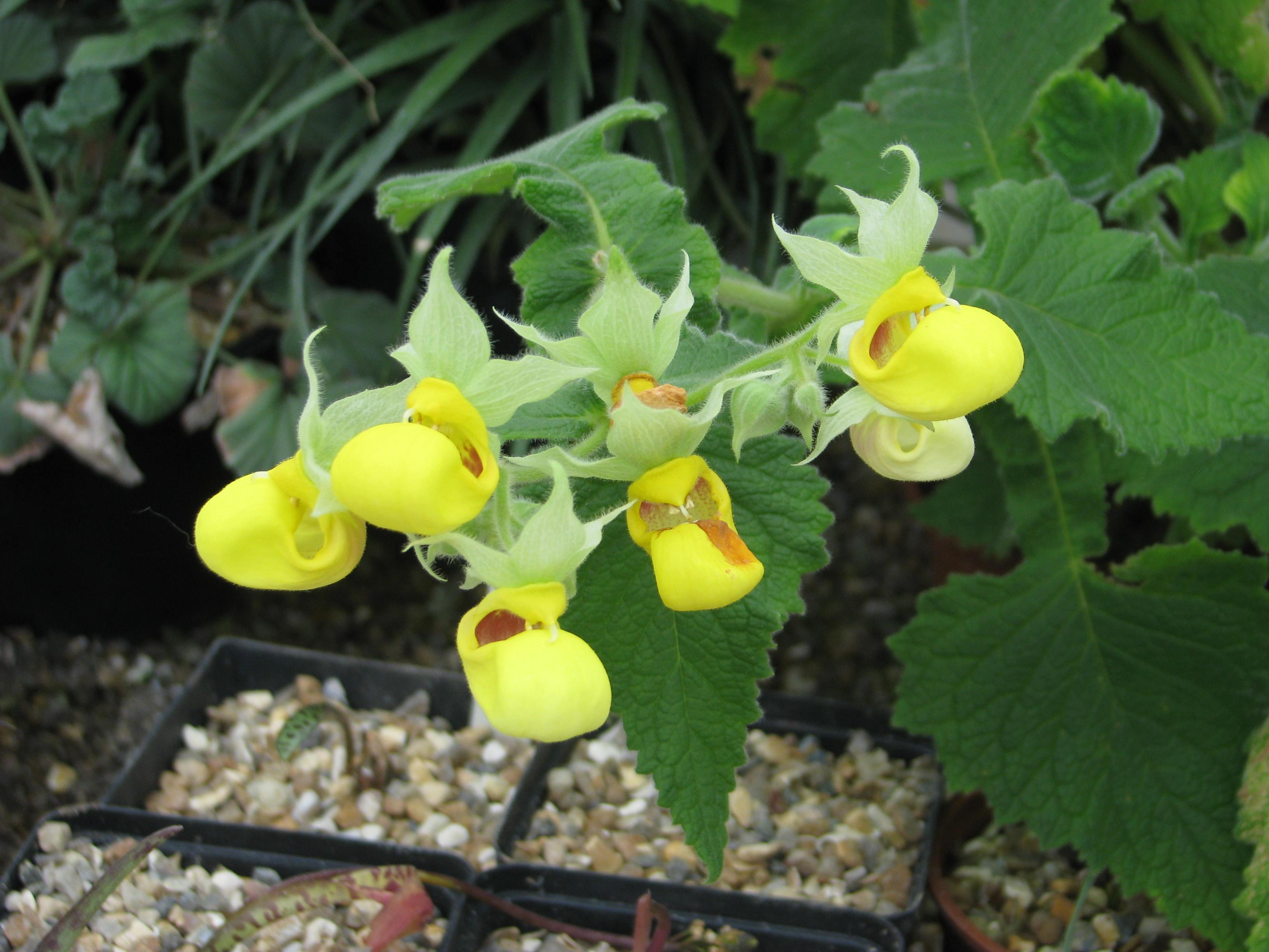 Calceolaria pavonii