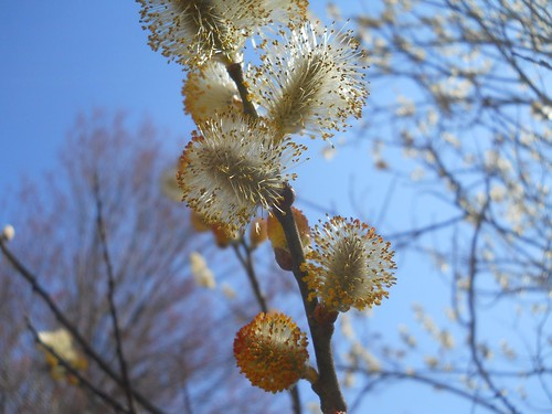 flowering pussy willows