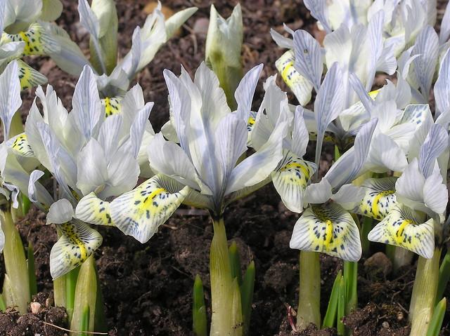 Iris histrioides 'Katharine Hodgin'