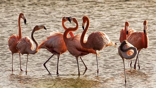 Cuba: American Flamingos 2