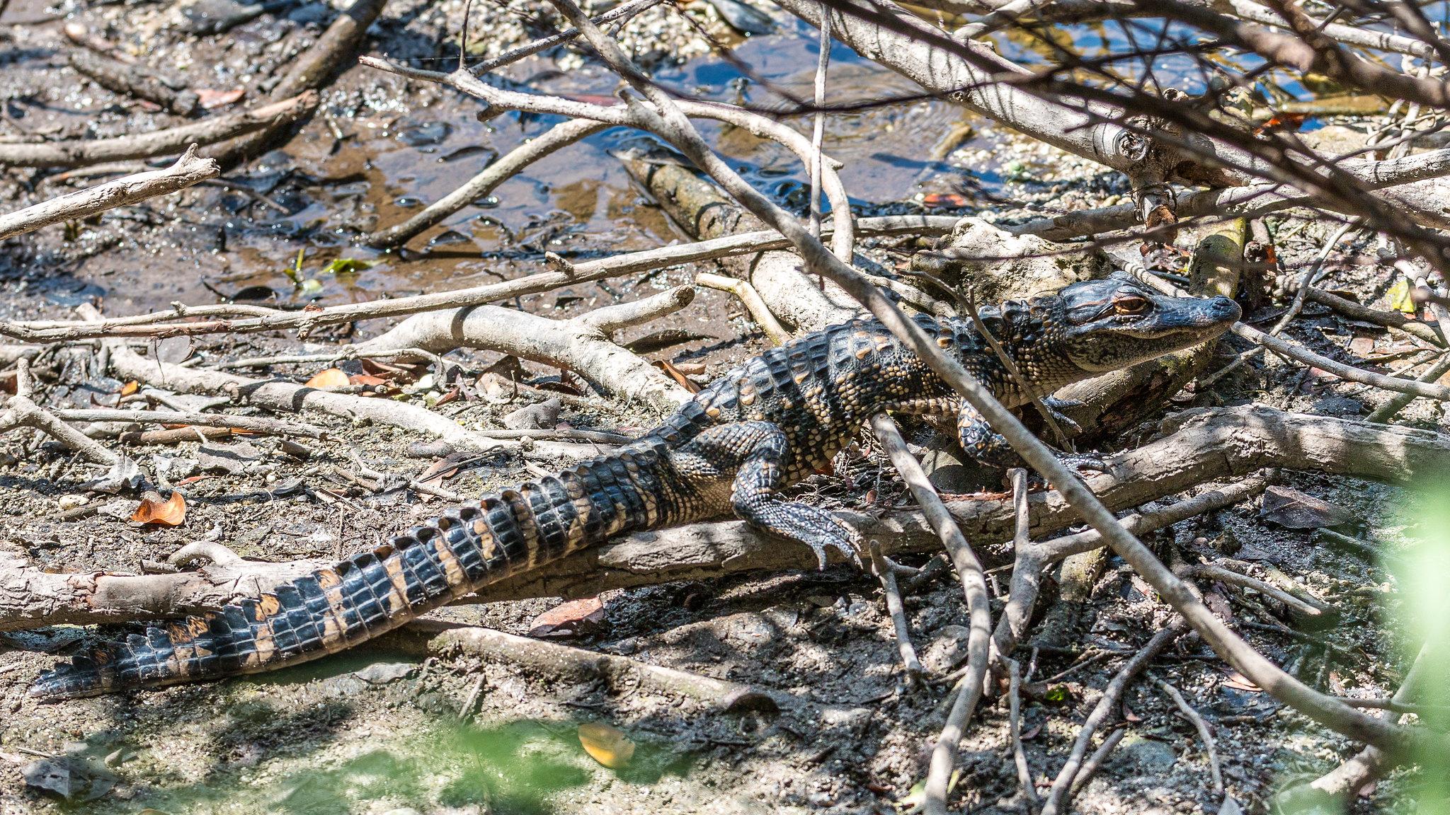 Everglades - Floride - [USA]