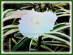 Showy flowering Costus speciosus 'Variegatus' (Variegated Crepe Ginger, Variegated Spiral Ginger/Flag), 19 April 2017