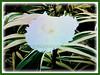 Cornus florida< (Flowering Dogwood, White Dogwood Tree