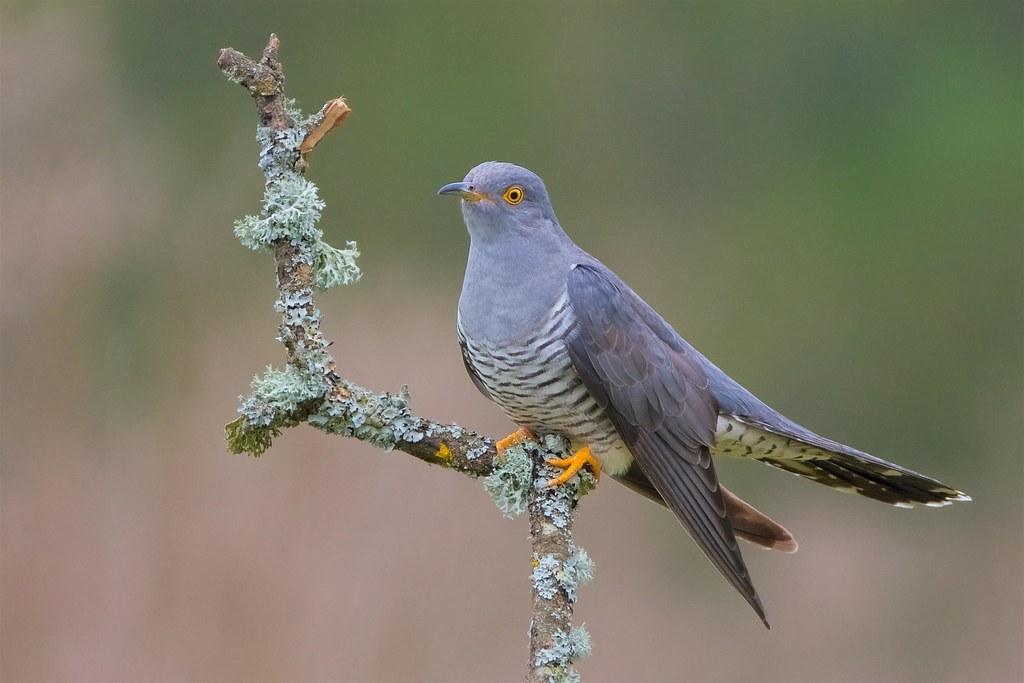 cuckoo explored 02 05 17 thursley common ian redman flickr