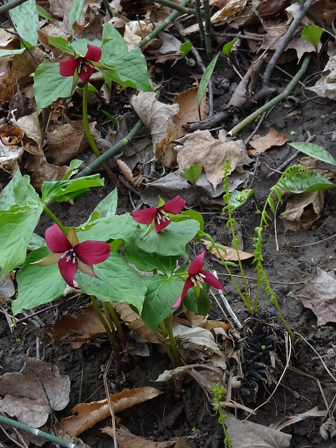 Red Trilliums