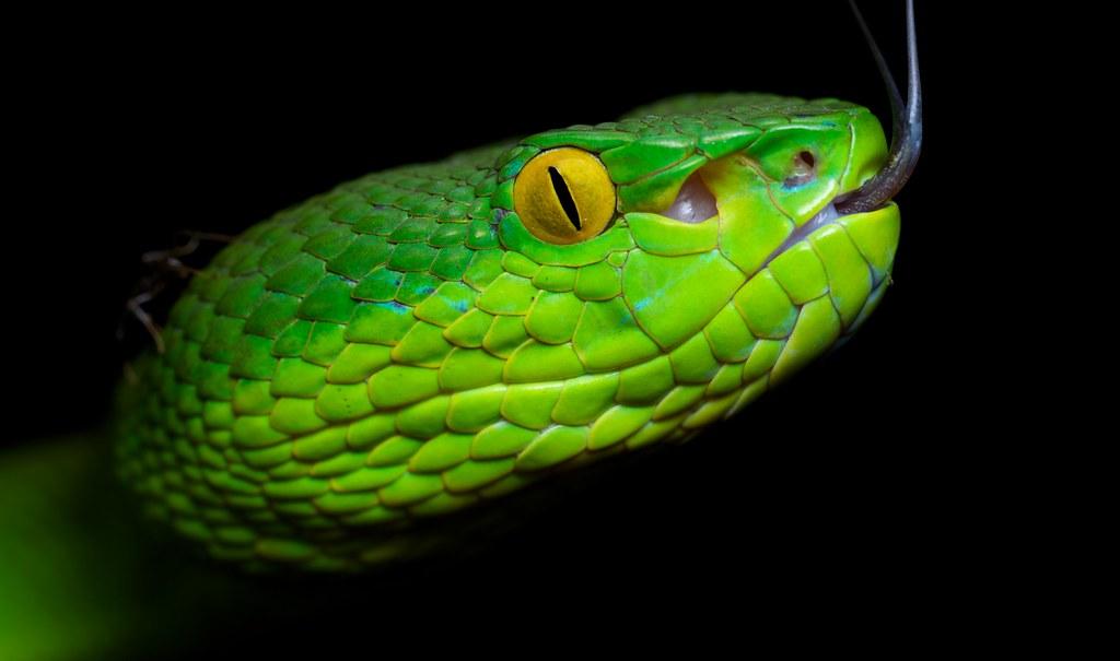 Green pit viper (Trime...