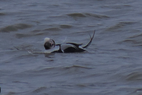 Male Long-tailed Duck looking odd