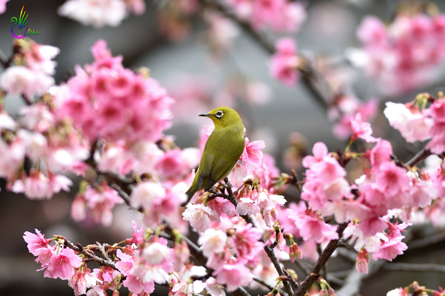 Sakura_White-eye_1111