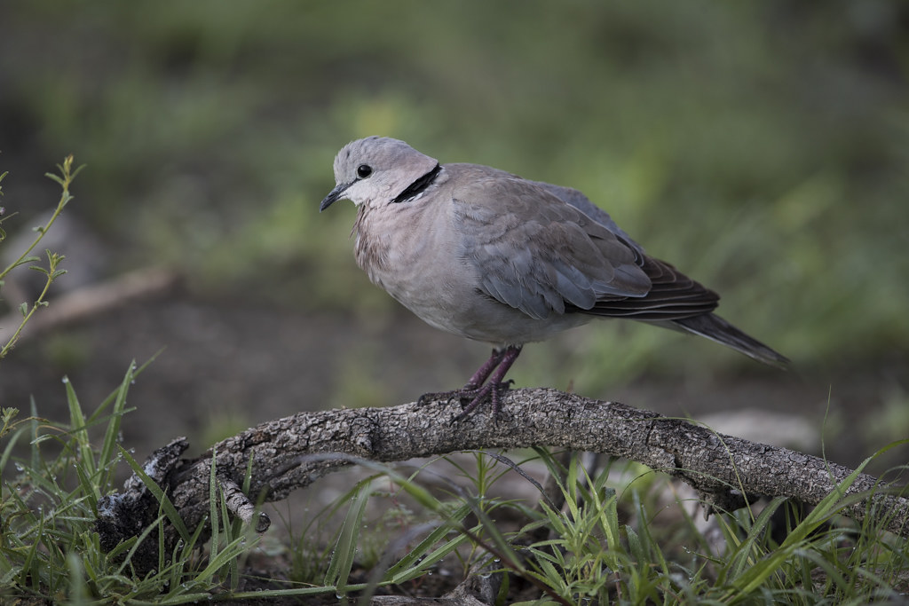 Cape Turtle Dove    Steptopelia Capicola