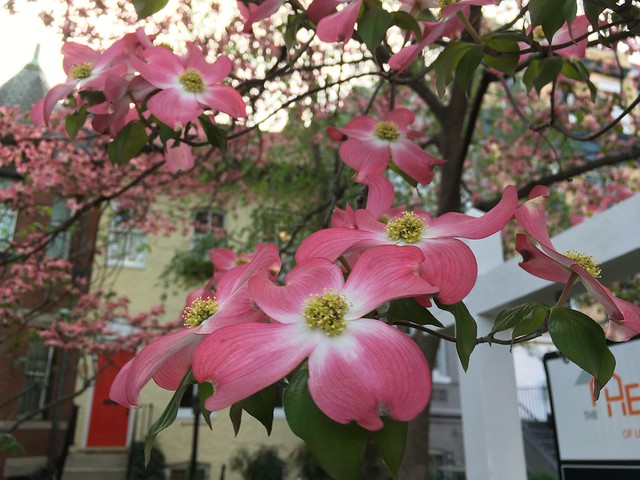 Dogwood closeup