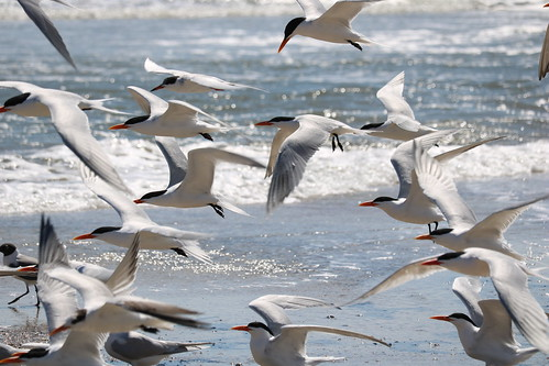 Forester's Tern among Royal Terns | by astanner1@att.net