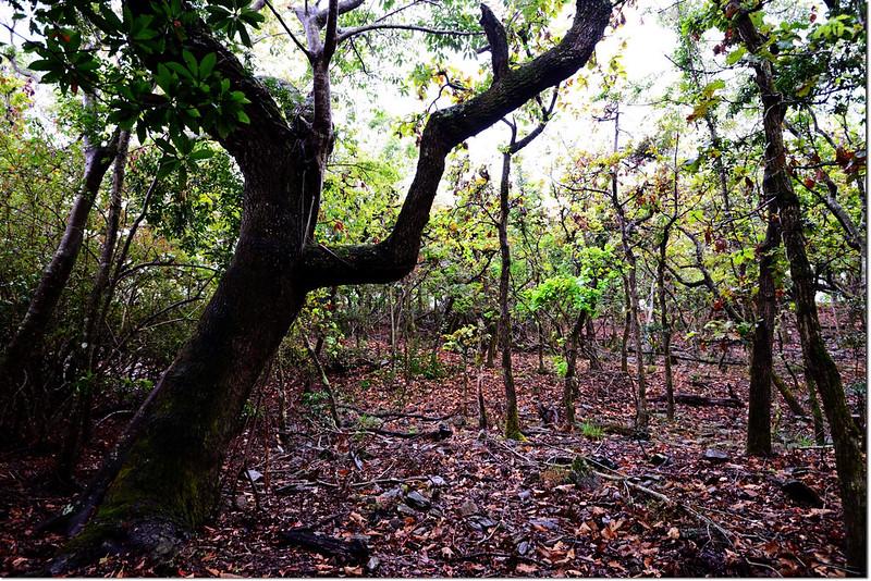 一場山槲樹純林 1
