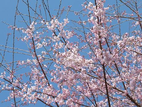 淡墨桜(エドヒガンザクラ)