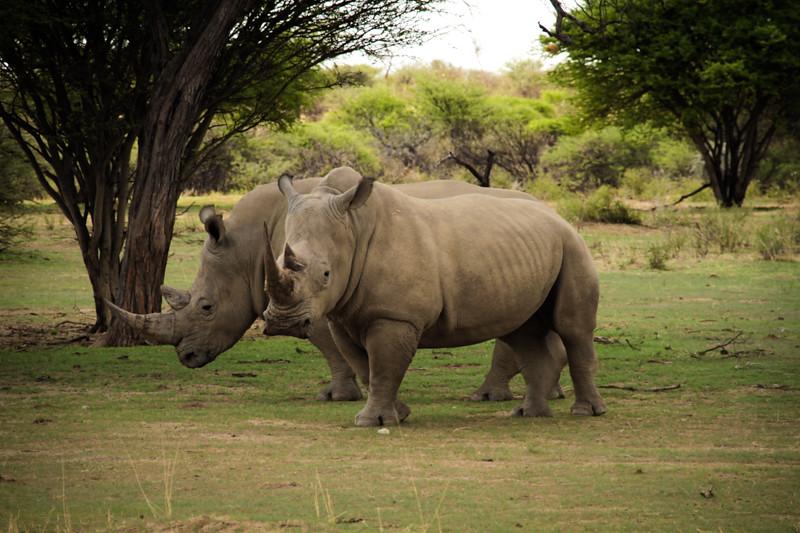 Nashörner Namibia