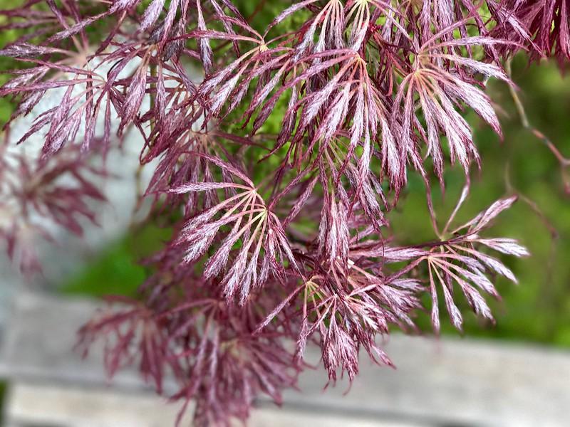 Hirsute Japanese maple leaves.