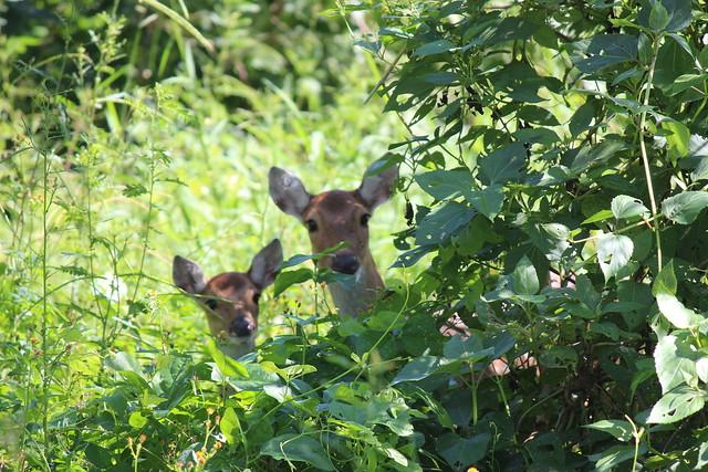 墾丁國家公園野放的台灣梅花鹿,無論是取得法令地位或經營管理都很重要!攝影:廖靜蕙