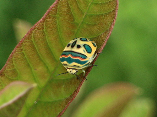 Picasso Bug Sphaerocoris annulus | by Jeremy Roberts