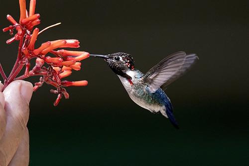 Cuba: Bee Hummingbird 1