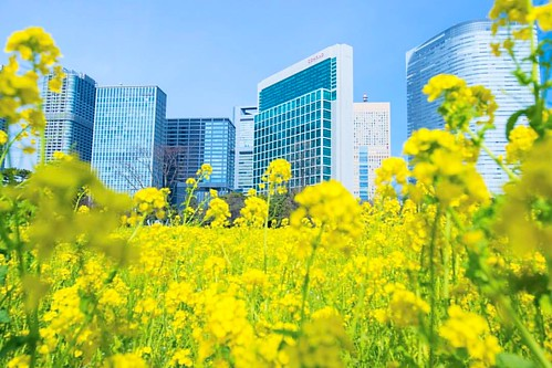 Good morning! 今日からもうお天気どよよんみたい😭 #ビル群と菜の花が #コラボってた #静かで落ち着く #都会の穴場 #浜離宮恩賜庭園 #菜の花 #conrad