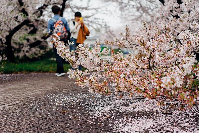 NagoyaCastleSakura_12_55