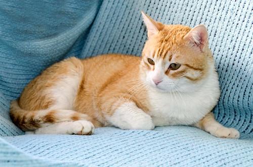 Robin, gato blanco y naranja guapo y súper dulce esterilizado, +inmunodeficiencia nacido en Marzo´15, en ADOPCIÓN ESPECIAL. Valencia. ADOPTADO. 33154695184_3a438d0d4c