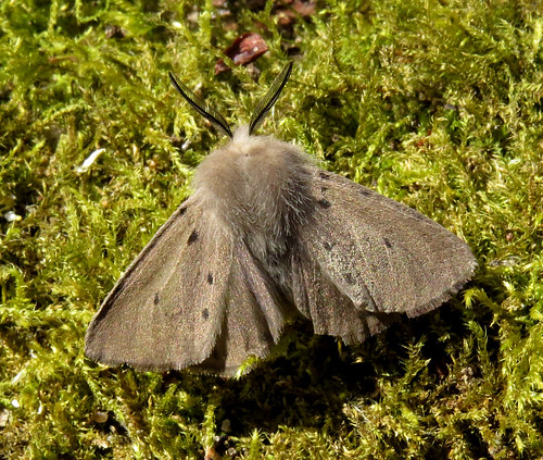 Muslin Moth Diaphora mendica Tophill Low NR, East Yorkshire April 2017