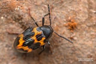 Darkling beetle (Amarygmus sp.) - DSC_3738