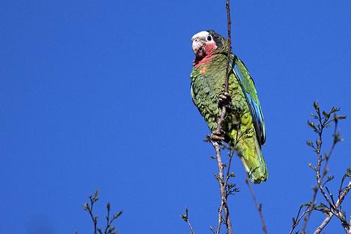 Cuba: Cuban Parrot