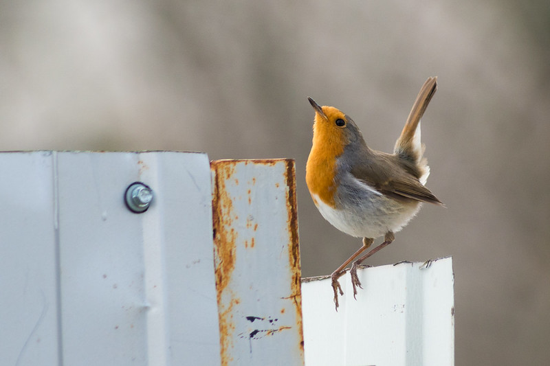 Robin in the morning