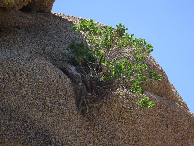 Growing in Rock