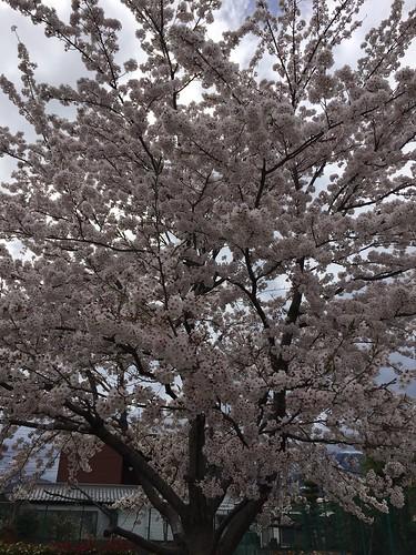 南アルプス市の桜