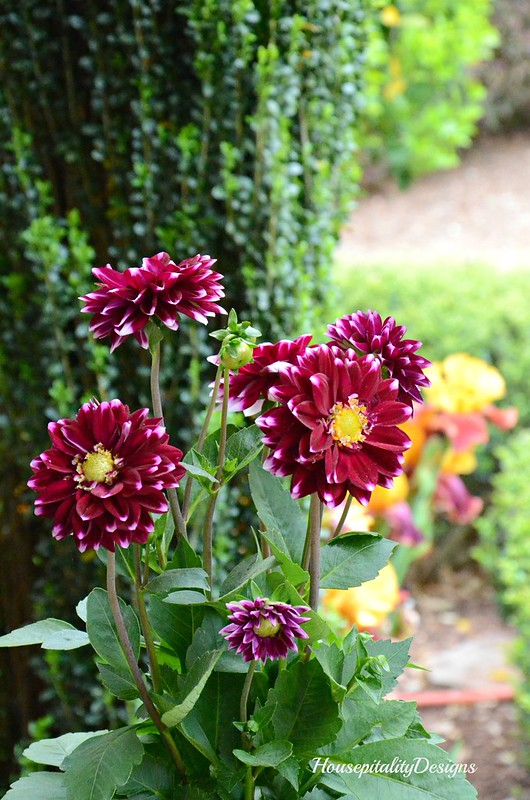 Purple Dahlias-Housepitality Designs