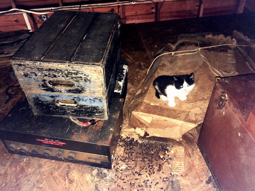 Elvis Kitten Found in Garage Loft (April 30 2016)