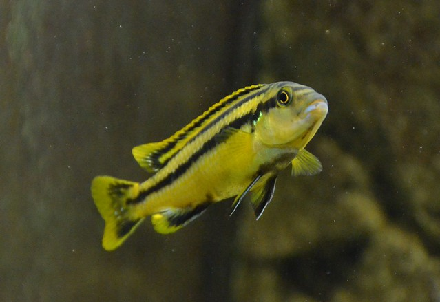 Меланохромис Чипока, меланохромис чипокский (Melanochromis chipokae), фото фотография цихлиды рыбы