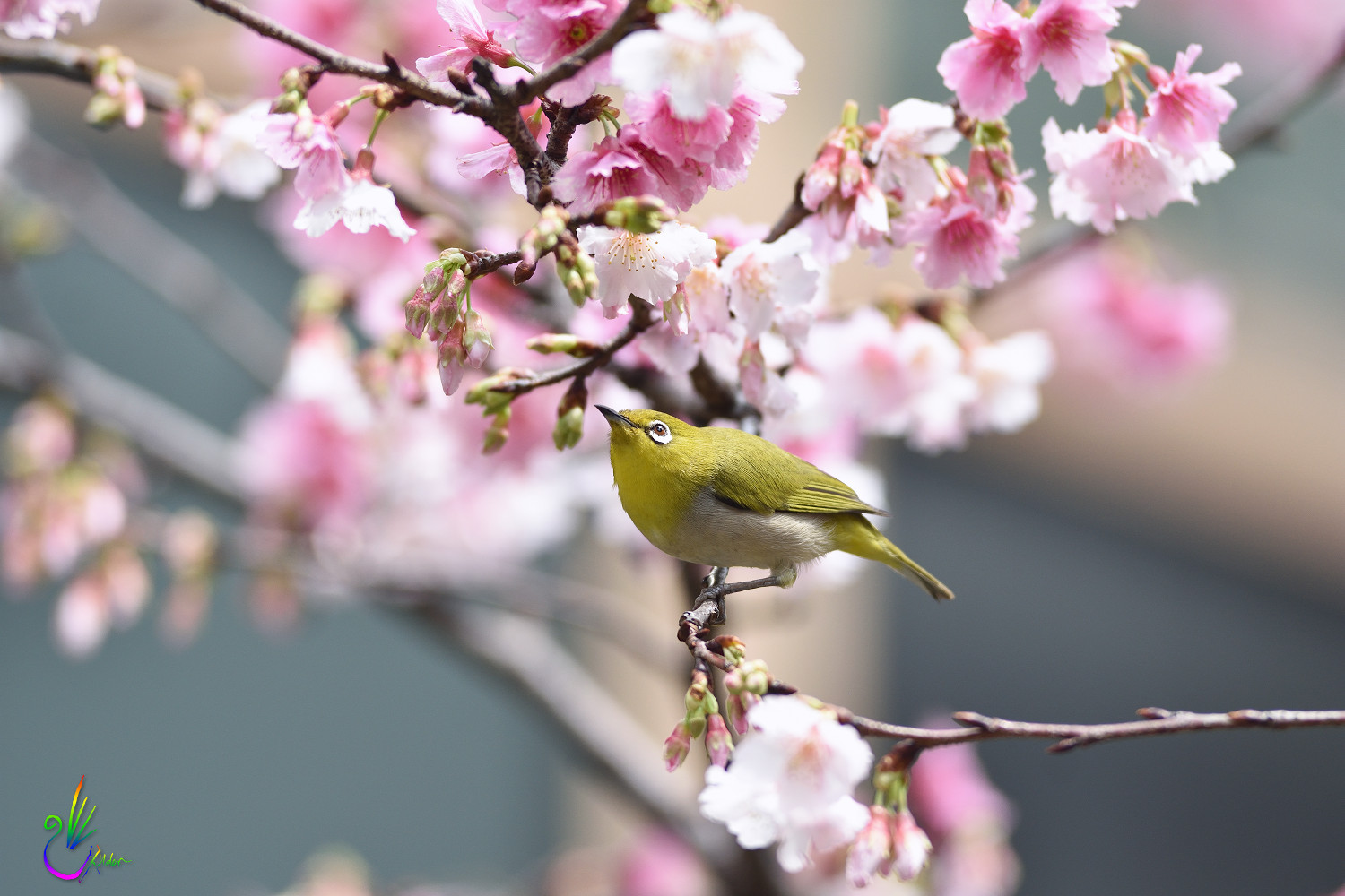 Sakura_White-eye_9445