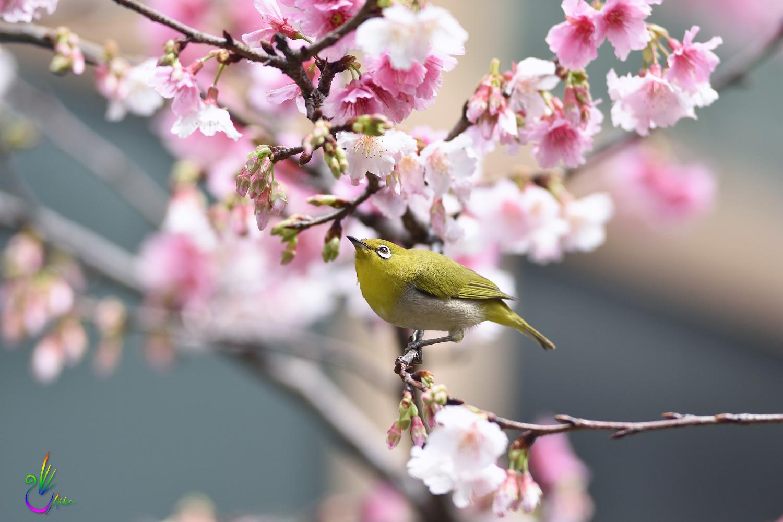 Sakura_White-eye_9445