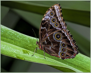 Resting Butterfly - by Marcia Nye | by Nature Camera Club