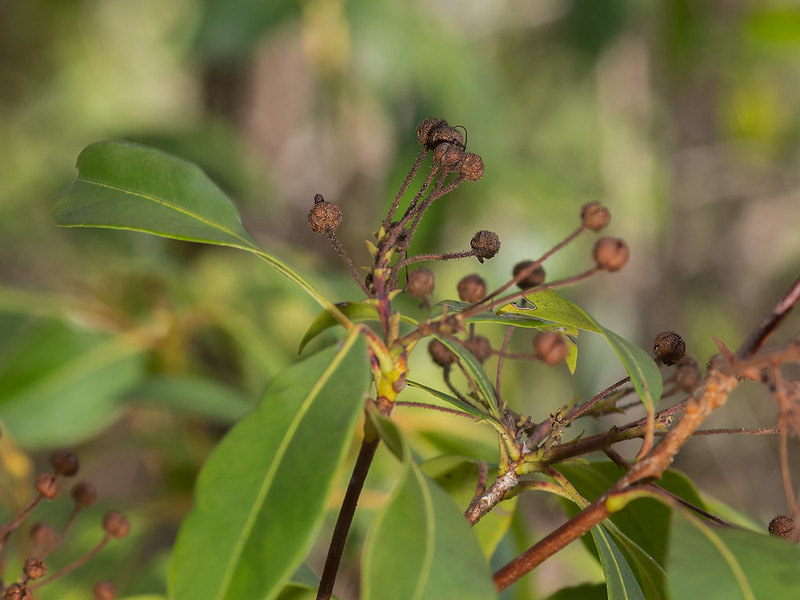 Seed capsules of Mountain Laurel