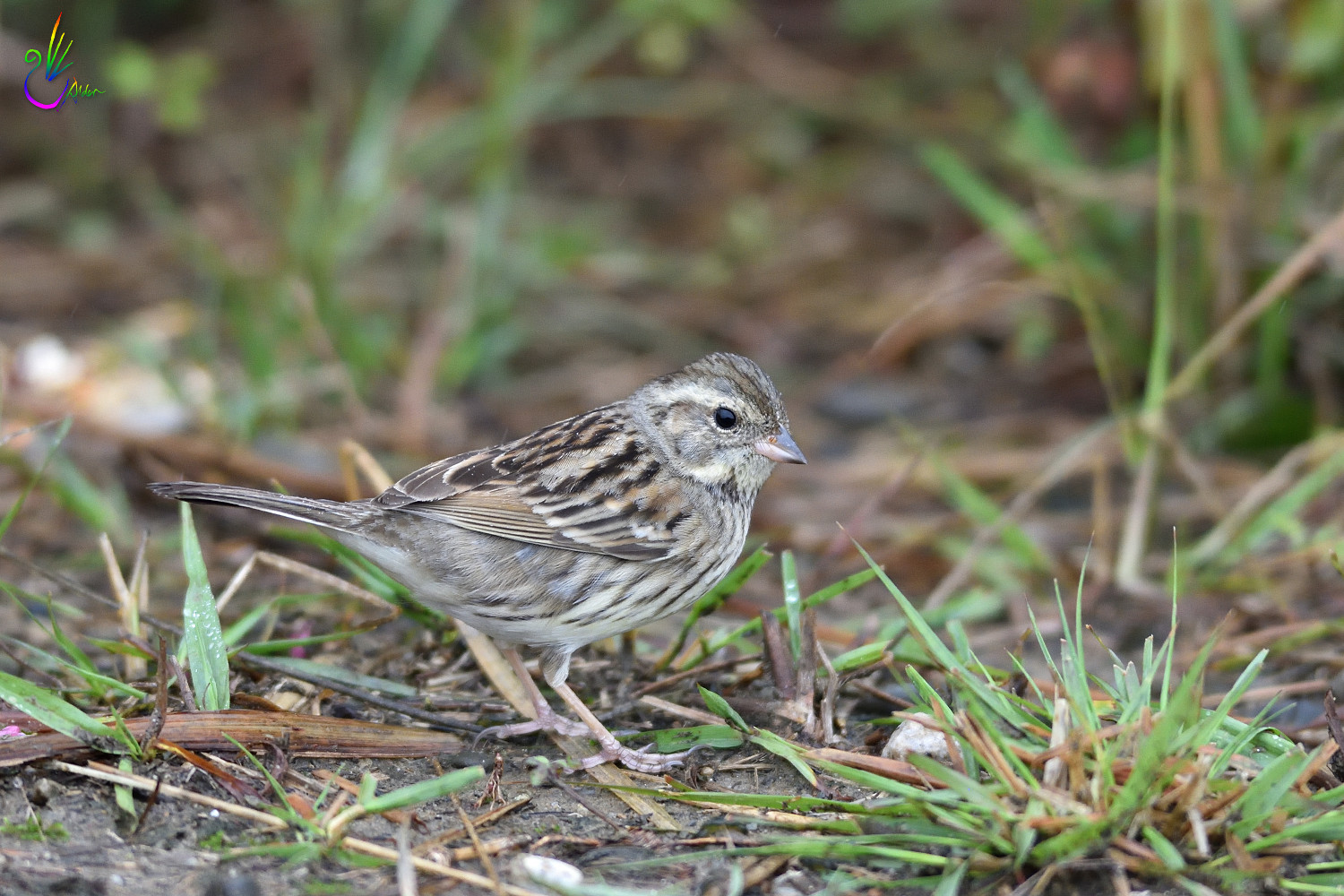 Black-faced_Bunting_7205