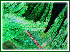 The lovely needle-like leaves of Araucaria heterophylla (Norfolk Island Pine, Star Pine, Triangle Tree, Living Christmas Tree), 1 April 2017, 1 April 2017