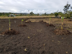 all the trees i planted in hawaii
