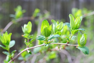 Honeysuckle leaves